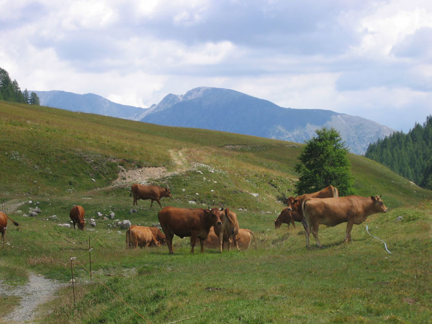1156253405_Roubion-vaches